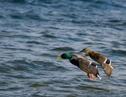 Mallard drake and hen landing on the St. Francis river east of Trumann
